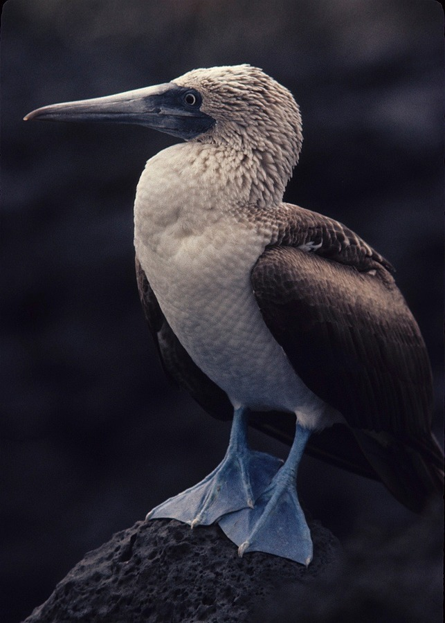 Bluefooted Booby, Galapagos | LENS MODEL NOT SET <br> Click image for more details, Click <b>X</b> on top right of image to close