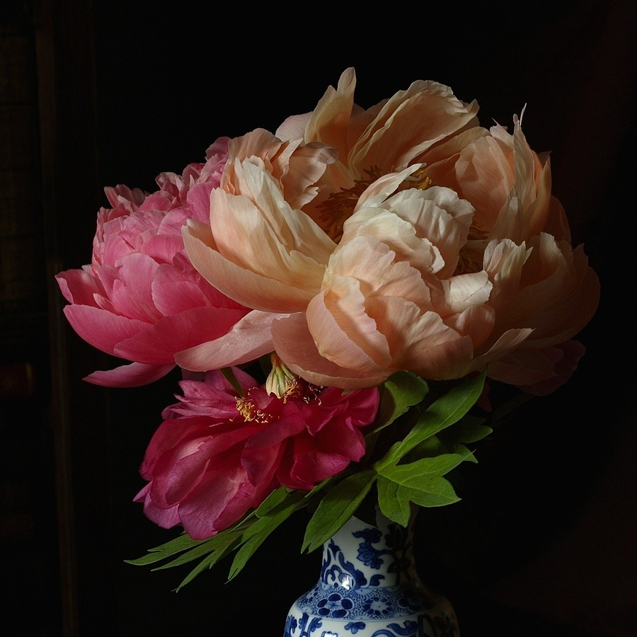 Peonies | LENS MODEL NOT SET <br> Click image for more details, Click <b>X</b> on top right of image to close