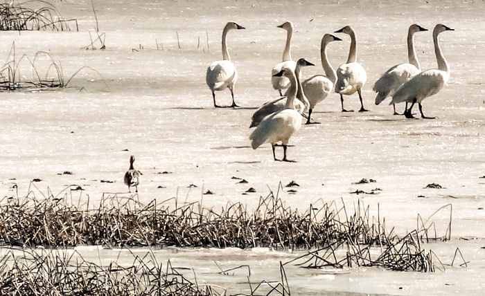 Eight Tundra Swans & One Impostor | LENS MODEL NOT SET <br> Click image for more details, Click <b>X</b> on top right of image to close
